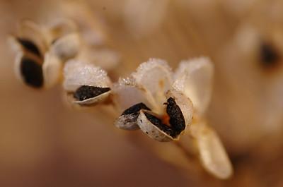 Allium tuberosum - Chinees bieslook