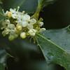 Ilex aquifolium - Hulst
