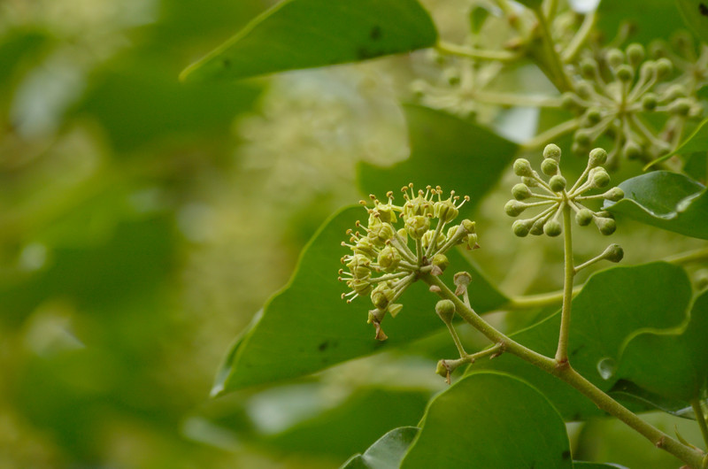 Hedera helix | Klimop - Ivy