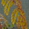 Aralia elata (A. spinosa?) | Duivelswandelstok - Devil's Walkingstick