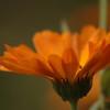 Calendula officinalis - Goudsbloem, Marygold