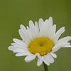 Leucanthemum vulgare - Margriet