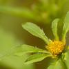 Bidens frondosa - zwart tandzaad