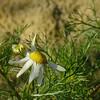 Matricaria maritima subsp. inodora (Tripleurospermum maritimum)