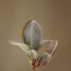 Lonicera periclymenum | Kamperfoelie - Honeysuckle