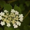 Viburnum opulus | Gelderse roos - Guelder rose