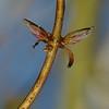 Lonicera periclymenum | Wilde kamperfoelie - Common honeysuckle