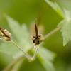 Geranium phaeum | Donkere ooievaarsbek - Mourning widdow