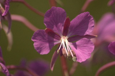 Chamaerion angustifolium | Wilgenroosje - Rosebay willowherb