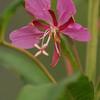 Chamaerion angustifolium | Wilgenroosje - Rosebay willowherb
