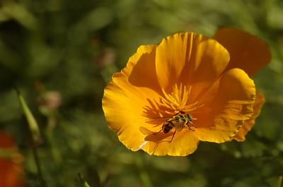 Escholzia californica | Slaapmutsje - Californian poppy