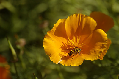 Escholzia californica | Slaapmutsje - Californian poppy