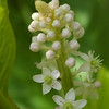 Phytolacca esculenta (?) - Oosterse (?) karmozijnbes