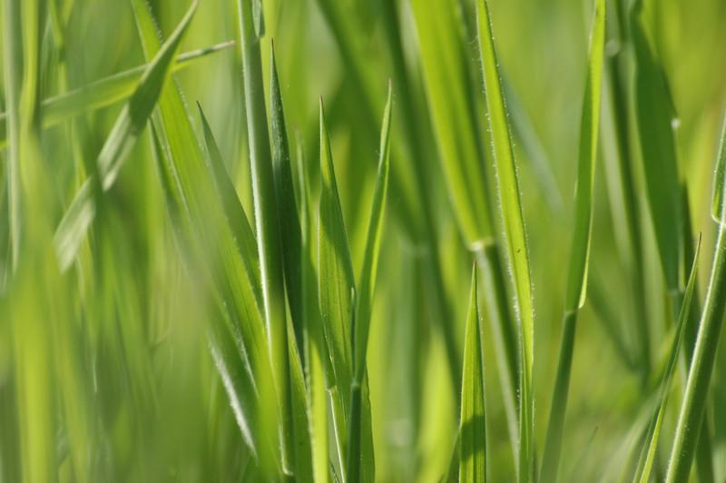 Holcus lanata | Gestreepte witbol - Yorkshire fog