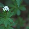 Galium odoratum | Lievevrouwebedstro - Sweet woodruff