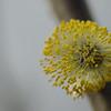 Salix caprea - Boswilg (M)