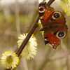 Inachis io | Dagpauwoog - European peacock<br /> Salix caprea | Boswilg - Goat willow, Pussy willow (M)