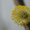 Salix caprea | Boswilg - Goat willow, Pussy willow (M)