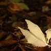 Populus alba | Witte abeel - European white poplar