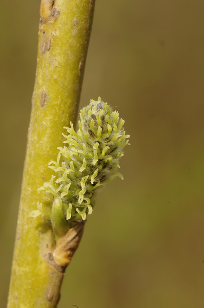 Salix viminalis - Katwilg, Osier