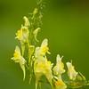 Linnaria vulgaris | Vlasbekje - Yellow toadflax