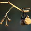 Solanum nigrum | Zwarte nachtschade - Black nightshade