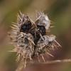 Datura stramonium | Doornappel - Jimsonweed
