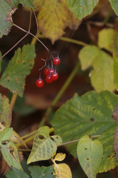 Solanum dulcamara | Bitterzoet - Bittersweet