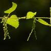 Urtica dioica | Grote brandnetel - Stinging nettle