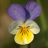 <em>Viola tricolor </em> | Driekleurig viooltje - Common pansy