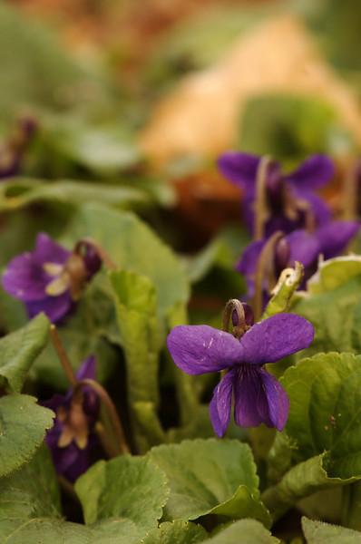Viola odorata   Maarts viooltje - Sweet violet