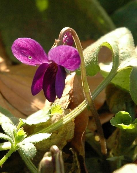 Viola odorata | Maarts viooltje - Sweet violet