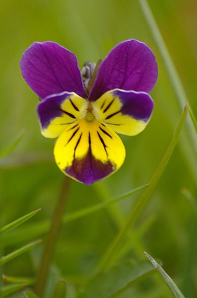 Viola tricolor | Driekleurig viooltje - Heartsease, Wild pansy