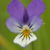 Viola tricolor | driekleurig viooltje - Pansy