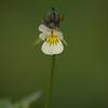 Viola arvensis | Akkerviooltje - Field pansy