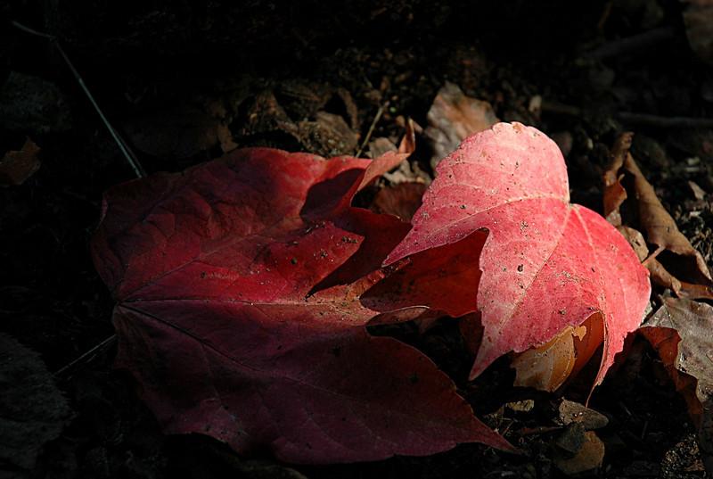 wingerdblad - Parthenocissus tricuspidata