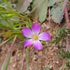 Redmaids (Calandrinia ciliata)