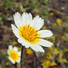 White Layia (Layia glandulosa)