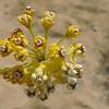 Rush Milkweed (Asclepias subulata) APOCYNACEAE