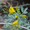 Bladderpod (Peritoma arborea)