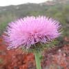 California Thistle (Cirsium occidentale)