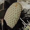 Beavertail Cactus (Opuntia basilaris)