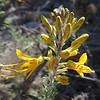 Bladderpod (Peritoma arborea