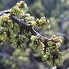 Basket Bush  (Rhus aromatica) ANACARDIACEAE