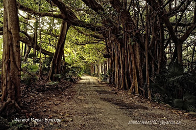 The old path of Ficus