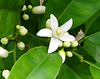 "I wish I could make this orange blossom ""scratch n sniff"" because the fragrance is heavenly!"