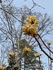 edgeworthia, pine knot