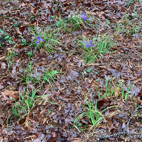 Iris unguicularis, Montrose