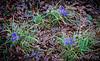 Iris unguicularis, Montrose, Feb 16 2019