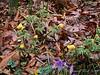 Adonis amurensis, purple crocus, Montrose